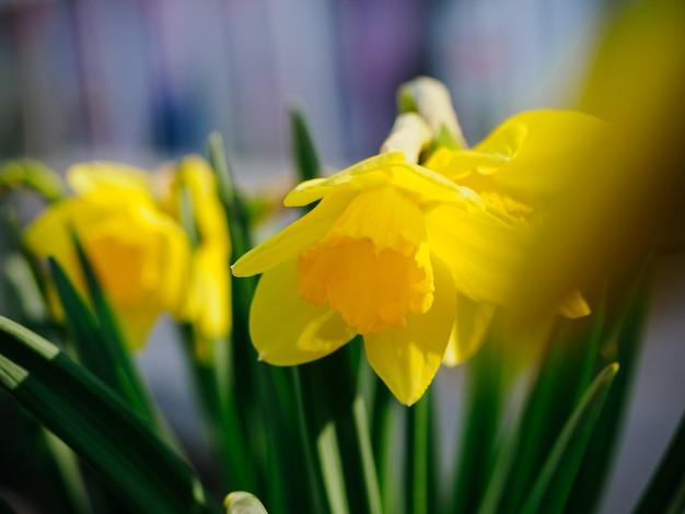 Zbliżenie żółte kwiaty żonkila. jasna wiosenna karta kwiatowy na wakacje, wielkanoc, ósmego marca, urodziny.