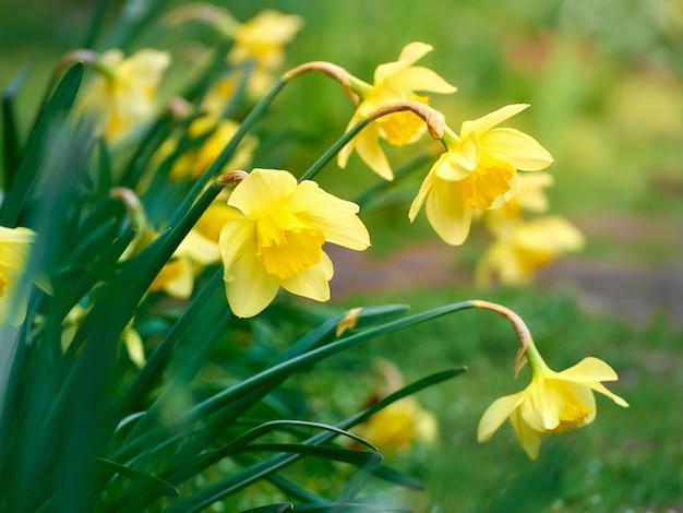 Zbliżenie żółte kwiaty żonkila.