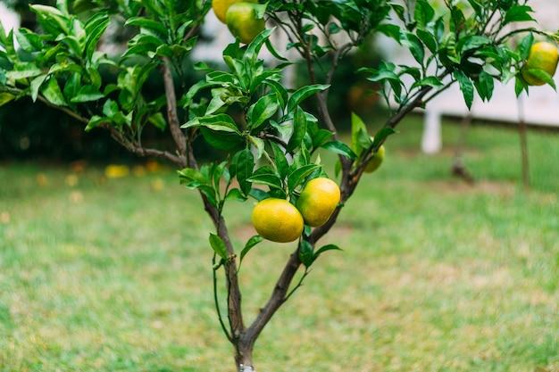 Zbliżenie żółte mandarynki dojrzewające na gałęziach drzew