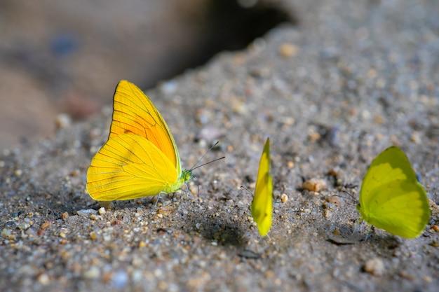 Zbliżenie: żółte motyle