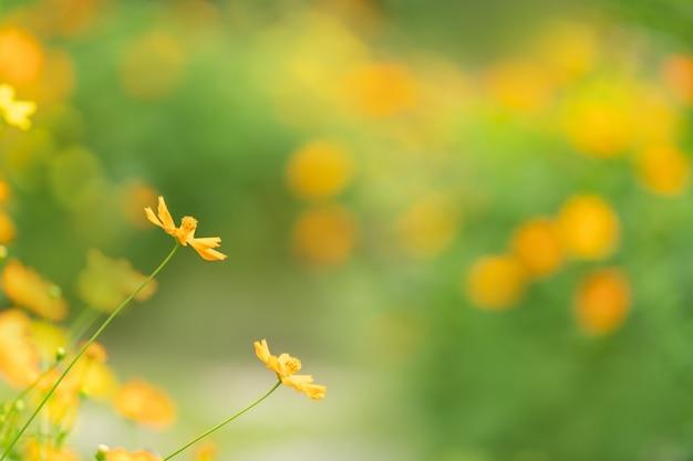 Zbliżenie żółty i pomarańczowy kwiat kosmos pod światłem słonecznym z miejsca na kopię, używając jako tła krajobrazu roślin naturalnych