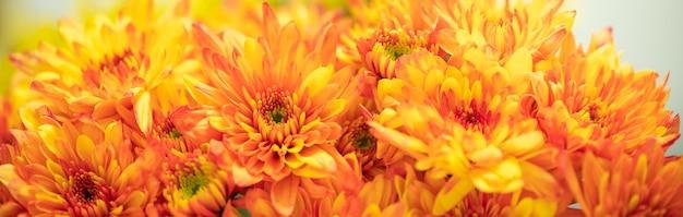 Zbliżenie żółty i pomarańczowy kwiat mums na białym tle z miejsca na kopię