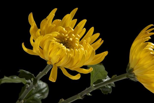 Zbliżenie żółtych chryzantem na białym tle