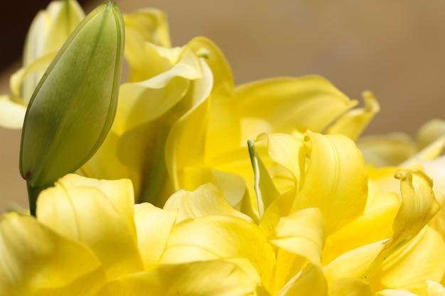 Zbliżenie żółtych płatków lilii i bud