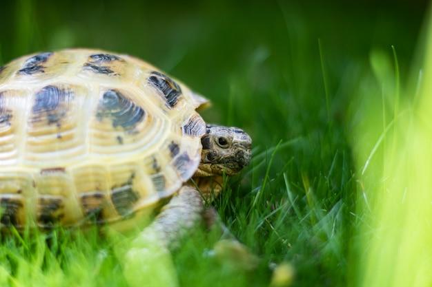 Zbliżenie żółwia rosyjskiego na zielonej trawie
