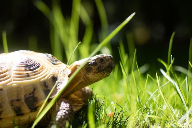 Zbliżenie żółwia rosyjskiego