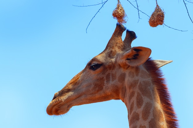 Zbliżenie żyrafa namibijska na tle błękitnego nieba