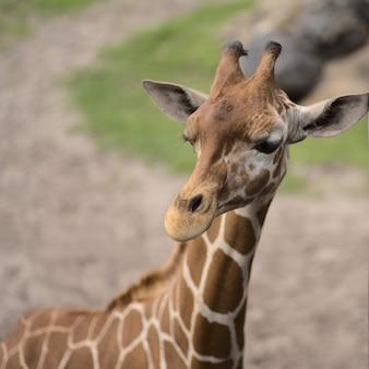 Zbliżenie żyrafa w słońcu