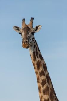 Zbliżenie żyrafa