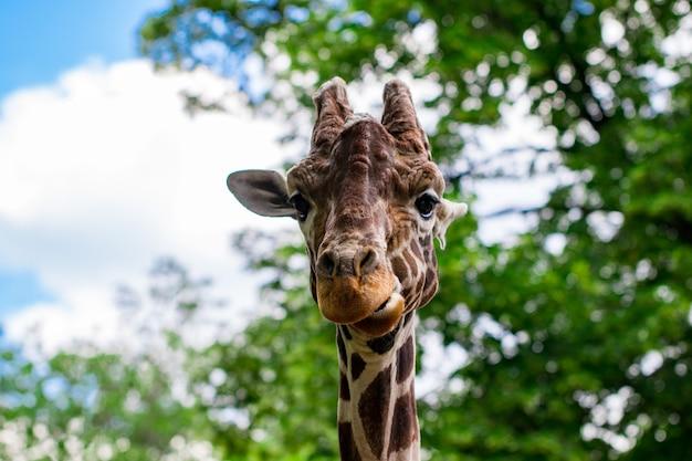 Zbliżenie żyrafy przed zielonymi drzewami, patrzącej w kamerę, jakby chciał powiedzieć, że na mnie patrzysz. z miejscem na tekst.