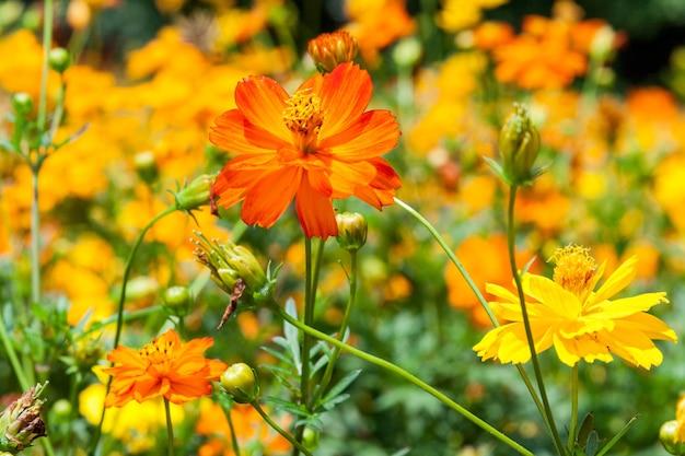 Zbliżenie żywych żółtych kwiatów na letnim polu