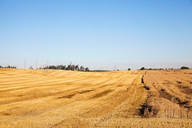Zboża rolne - pole uprawne, na którym rosną zboża pszenica, białoruś, dojrzałe i pożółkłe zboża, mała głębia ostrości