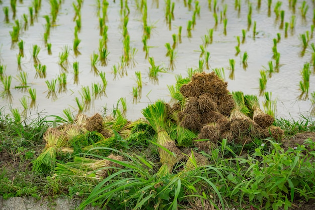 Zboże z polem ryżowym zielonej rośliny na