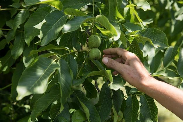 Zdejmowanie zielonych jabłek z drzewa