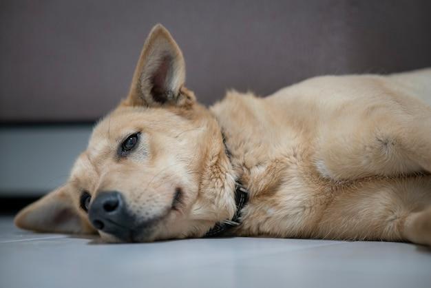 Zdenerwowany chory pies leży na podłodze ze smutnym spojrzeniem, cierpi z powodu bólu, choroby. wielki samotny