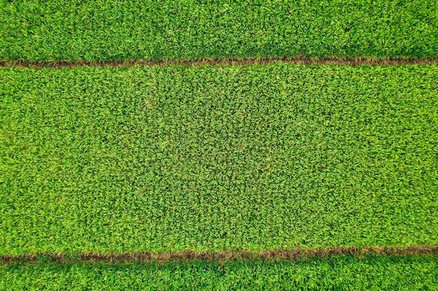 Zdjęcia lotnicze pól ryżowych