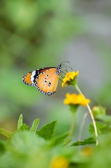 Zdjęcia makro motyla monarcha na żółtym kwiecie w ogrodzie