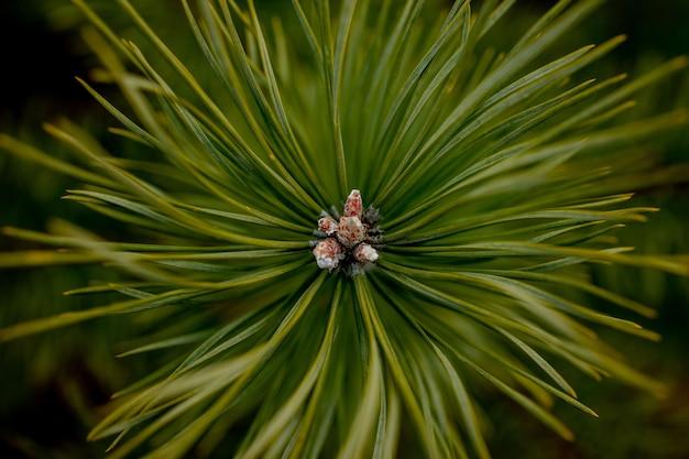 Zdjęcia makro roślin. iglaste gałęzie z młodymi pąkami wyglądają jak kwiaty. sosna gałąź z szyszkami na wiosnę.