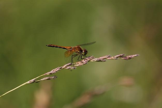Zdjęcia makro, ważka sceny pięknej przyrody. przedstawienie szczegółów oczu i skrzydeł. ważka w środowisku przyrodniczym jako tło lub tapeta. koncepcja napisania artykułu.