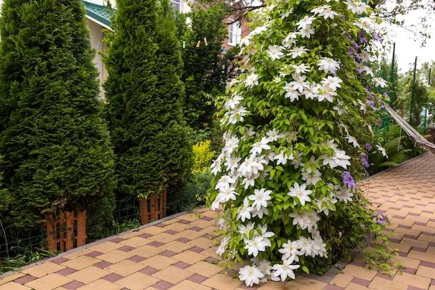 Zdjęcie białych kwiatów powojników w ogrodzie