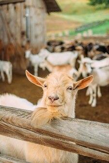 Zdjęcie czerwonej kozy.
