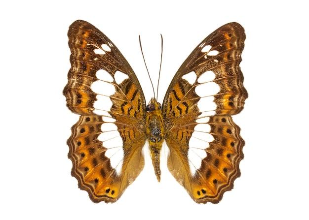 Zdjęcie dowódcy motyla (moduza procris). owad. zwierzę
