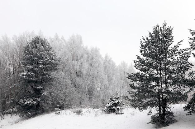 Zdjęcie drzew, których gałęzie są pokryte szronem po mrozie.