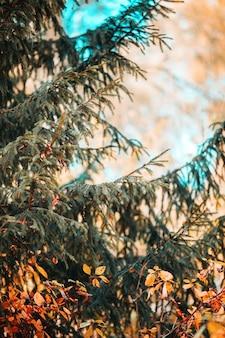 Zdjęcie gałęzi świerka, na tle drzew pomarańczowych w jesienne popołudnie.