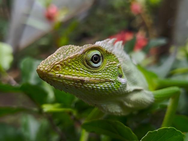 Zdjęcie iguany