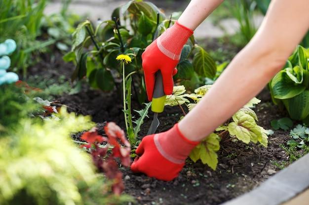 Zdjęcie kobiety w rękawiczce ręki trzymającej chwastów i narzędzia do usuwania go z gleby.
