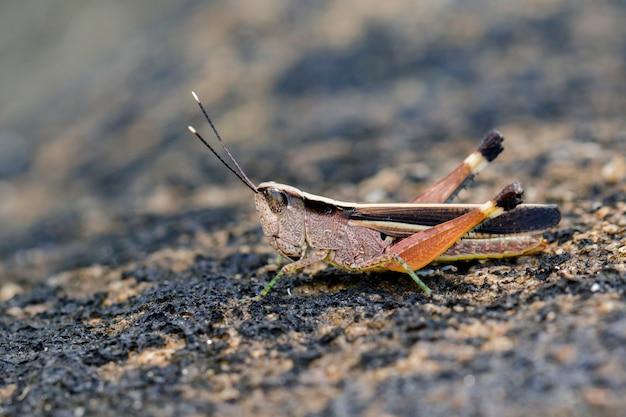 Zdjęcie konika polnego (phlaeoba antennata) na podłodze. owad. zwierzę