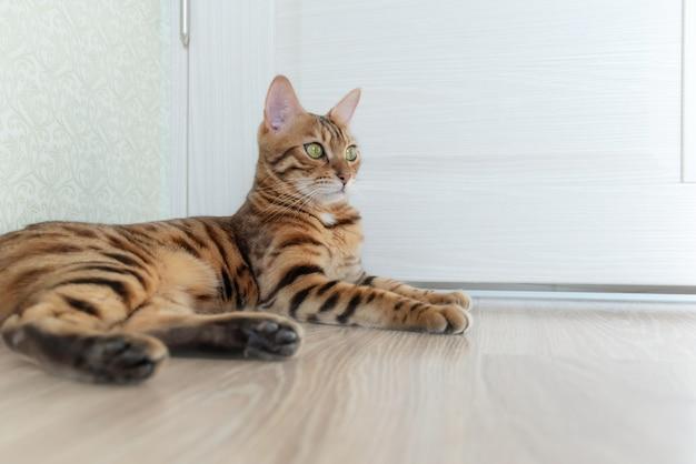 Zdjęcie kota bengalskiego krótkowłosego o dużych oczach leży na drewnianej podłodze w pokoju z drzwiami