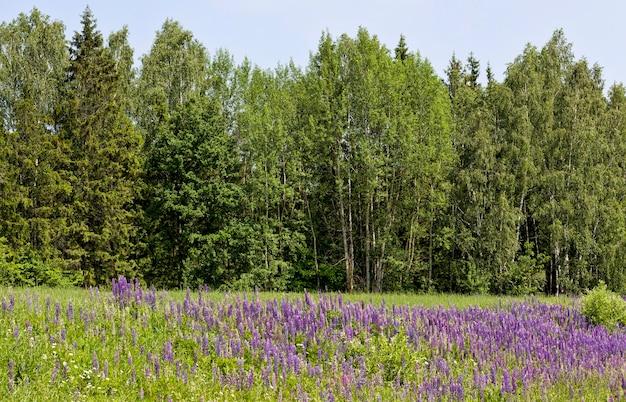 Zdjęcie kwitnącej małej trawy i łubinu wąskolistnego w okresie wiosennym