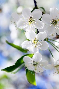 Zdjęcie kwitnie wiśni wiosną roku