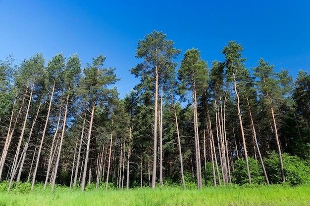 Zdjęcie lasu, na którym rośnie duża liczba sosen, błękitne niebo