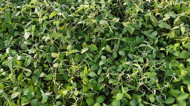 Zdjęcie lotnicze pola soi dojrzewającego w sezonie wiosennym, krajobraz rolniczy