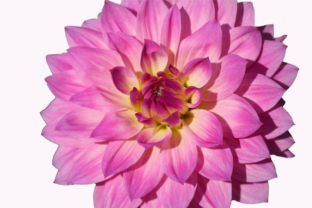 Zdjęcie makro liliowej dalii na białym tle