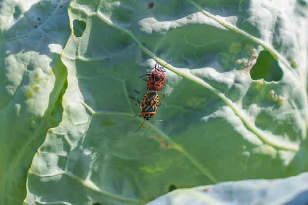 Zdjęcie makro ognika siedzącego na liściach kapusty, robaka żołnierza