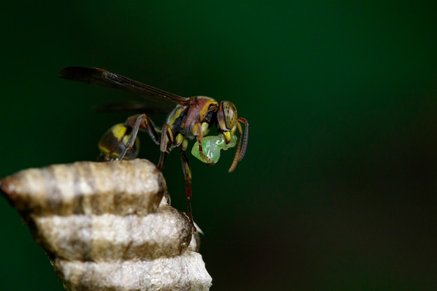 Zdjęcie małej brązowej papierowej osy (ropalidia revolutionalis) i gniazda osy. owad zwierząt