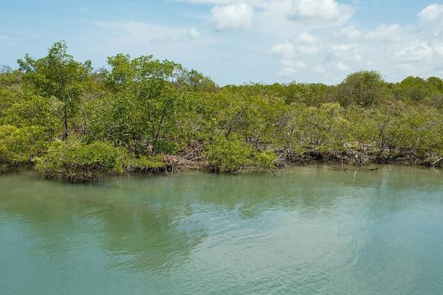 Zdjęcie namorzynowe. mangrowe. hodowla krabów