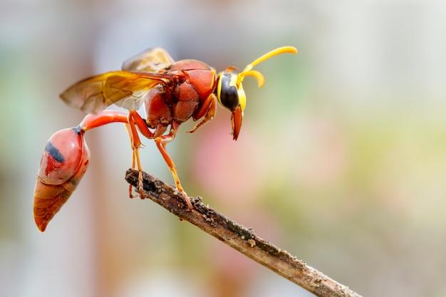 Zdjęcie osy pottera delta sp, eumeninae na suchych gałęziach. owad zwierząt