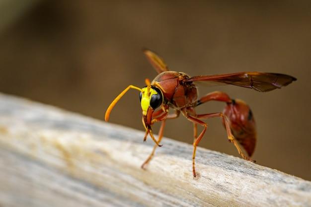 Zdjęcie osy pottera delta sp, eumeninae na suchym drewnie. owad zwierząt