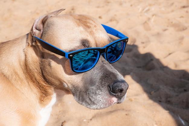 Zdjęcie pit bull w okularach przeciwsłonecznych.