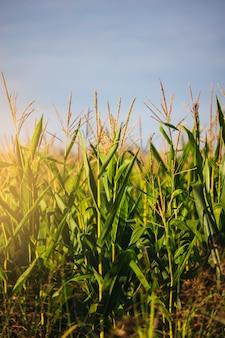 Zdjęcie pola kukurydzy z nieostrym tłem