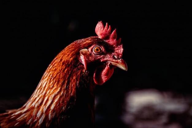 Zdjęcie portretowe kurczaka