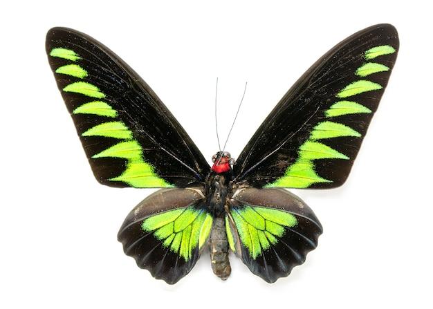 Zdjęcie rajah brookiana butterfly (trogonoptera brookiana) (mężczyzna). owad. zwierzę