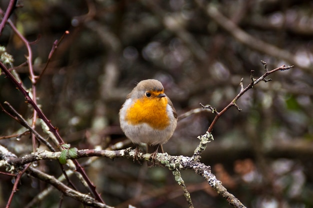 Zdjęcie robina europejskiego (erithacus rubecula). szczegółowy i jasny portret. jesienny krajobraz z ptakiem śpiew. erithacus rubecula w parku narodowym orbea w kraju basków. hiszpania