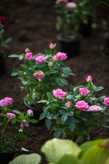 Zdjęcie róż w ogrodzie w letni dzień