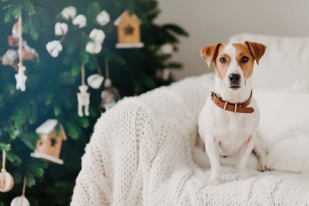 Zdjęcie ślicznego szczeniaka w pomieszczeniu nosi obrożę na szyi, pozuje na wygodnej kanapie z białą kratą, będąc w domu, cieszy się świąteczną atmosferą.