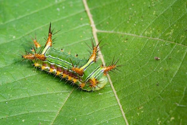 """Zdjęcie ślimaka pokrzywy caterpillar (moth cup, limacodidae) """"green marauder"""" na zielonych liściach. owad zwierząt."""